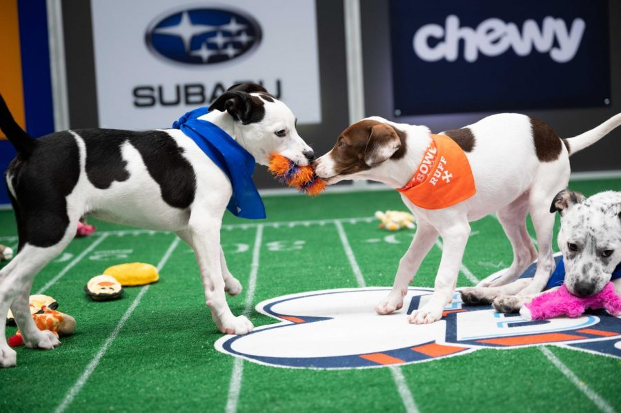 Team Fluff and Team Ruff members compete in tug-of-war during the game. Eventually the Team Ruff players are named the Puppy Bowl XVII champions.